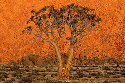 A Quiver Tree, Or Kokerboom,  Aloe Art Print by Robert Postma