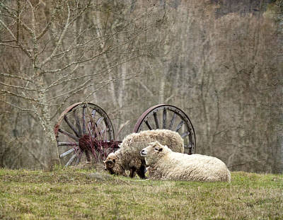 Photograph - A Ram And Sheep With Attitude  by Betty  Pauwels