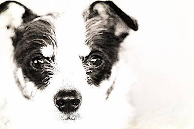 Photograph - A Rat Terrier ... Mix by Audreen Gieger