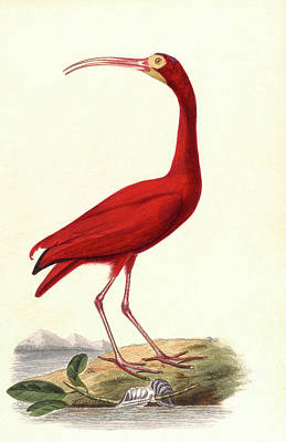 Ibis Drawing - A Red Ibis by Mary Evans Picture Library