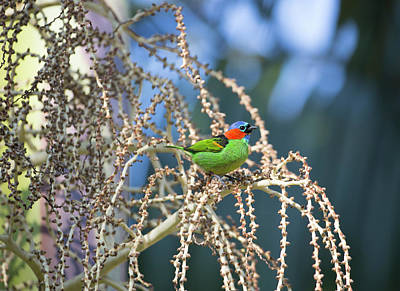 A Red-necked Tanager, Tangara Art Print