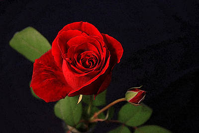 A Red Rose Art Print by CarolLMiller Photography