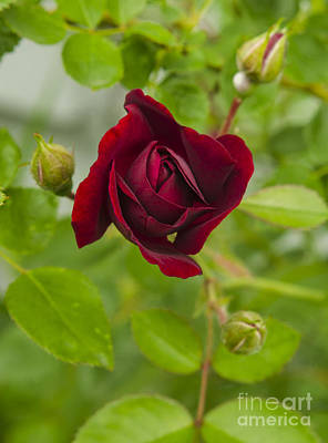 Photograph - A Red Rose Slowly Unfurling by Deborah Smolinske