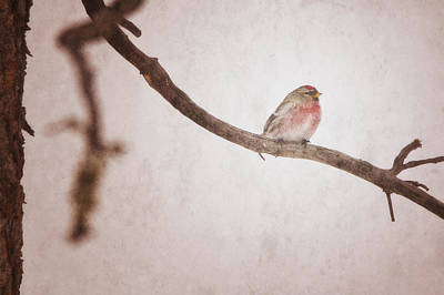 A Redpoll Bird On The Branch Of A Pine Print by Roberta Murray