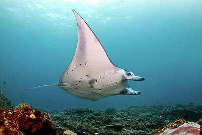 Photograph - A Reef Manta Ray, Nusa Penida by Alessandro Cere