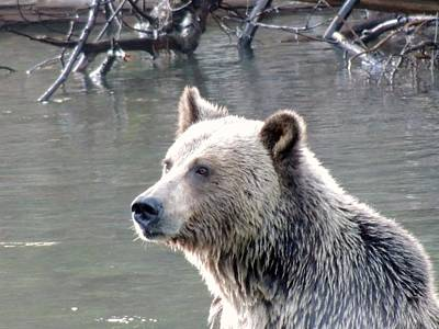 Nature Of Bear. Nature Of Bear In Water.grizzly Photograph - A Rest by Cathy MacMillan