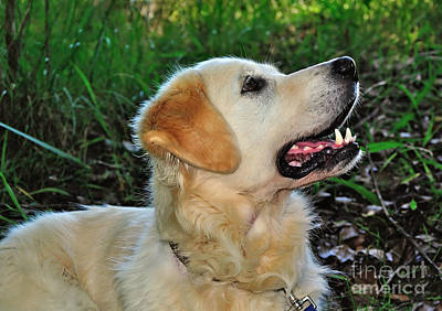 Photograph - A Retriever's Loving Glance by Kaye Menner