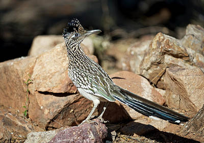 Roadrunner Photograph - A Road Runner Pauses Momentarily by Richard Wright