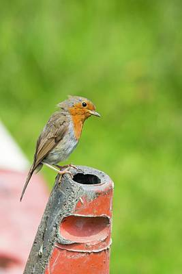 Red-breasted Robin Photograph - A Robin Perched On A Traffic Cone by Ashley Cooper