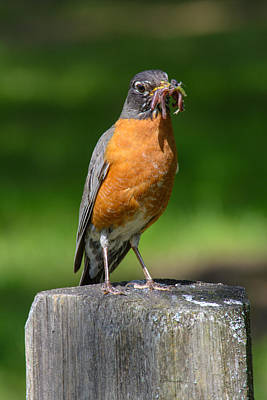 Photograph - A Robins Lunch by Tikvah's Hope