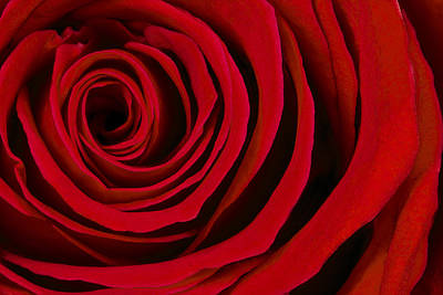 Still Life Royalty-Free and Rights-Managed Images - A Rose for Valentines Day by Adam Romanowicz