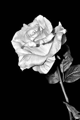 Photograph - A Rose For You by Michelle McPhillips