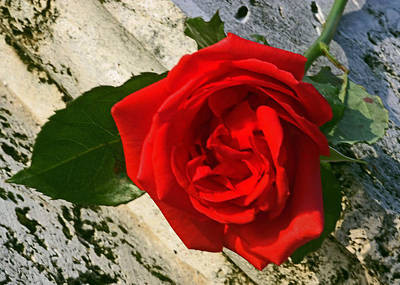 Photograph - A Rose For Your Birthday by Dawn Currie