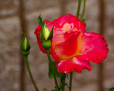 Photograph - A Rose In The Rain by Ben Upham III