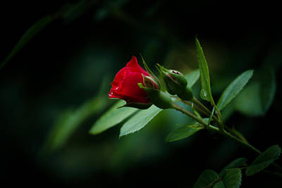 Photograph - A Rose Is A Rose by Kathy Nairn