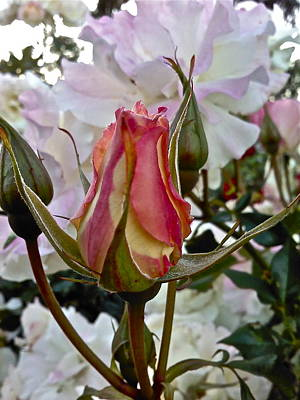 Photograph - A Rosebod by Ruth Edward Anderson