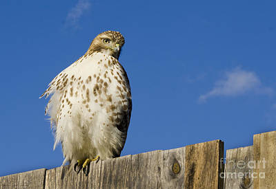 Photograph - A Rough Legged Hawk On The Hunt by MaryJane Armstrong