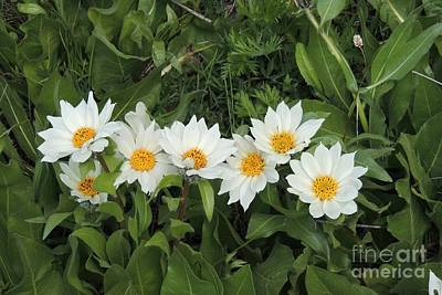 Photograph - A Row Of White Wyethia by Michele Penner