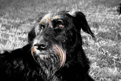 Photograph - A Schnauzer's Plea  by Jo Collins