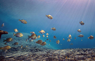 Bluegill Photograph - A School Of Bluegill And Sunfish  Swim by Michael Wood
