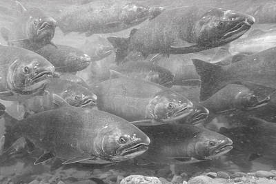A School Of Silvers In Black And White Art Print by Tim Grams