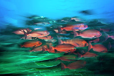 A School Of Slender Pinjalo Snappers Art Print