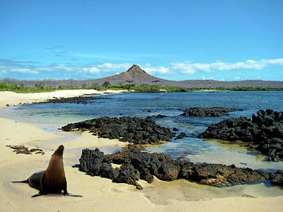 Sea Lions Photograph - A Sea Lion (eumetopias Jubatus by Miva Stock