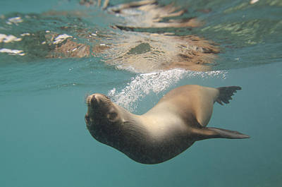 Photograph - A Sea Lion Swimming Under The Waters by Keith Levit
