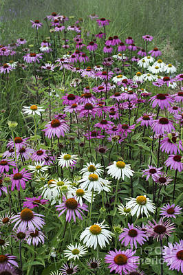 A Sea Of Echinacea  Art Print