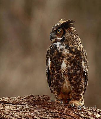 A Sense Of Mystery Of The Great Horned Owl  Art Print