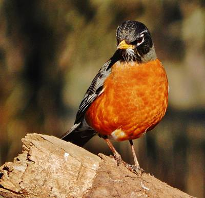 Photograph - A Serious Robin by VLee Watson