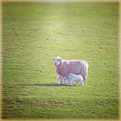 Sheep Photograph - A #sheep And A #lamb... #wales #spring by Alexandra Cook