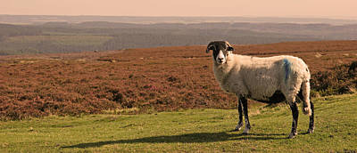 Landscapes Royalty-Free and Rights-Managed Images - A Sheep With A View 2 by John Topman