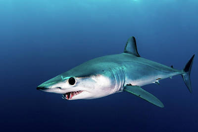 Photograph - A Shortfin Mako Shark Swimming by Alessandro Cere