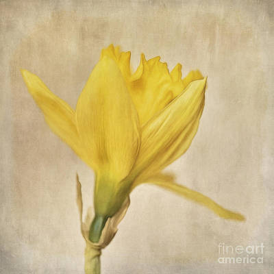 A Simple Daffodil Art Print by Priska Wettstein