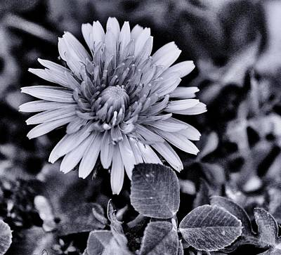 Photograph - A Simple Daisy by Edward Hamilton