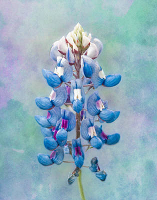 Photograph - A Single Bluebonnet by David and Carol Kelly