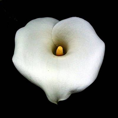 Photograph - A Single Heart Shaped Calla Lily Isolated On Black by Tracey Harrington-Simpson