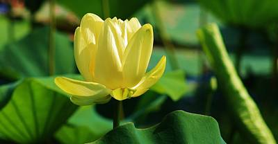 Photograph - A Single Lotus Bloom by Bruce Bley