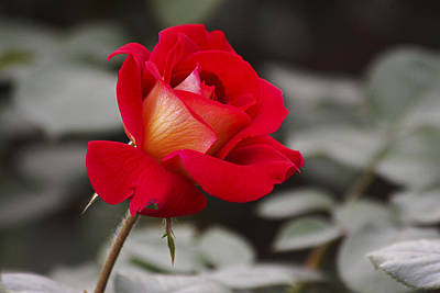 Photograph - A Single Rose by Yun Qing Fu