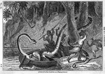 Boa Constrictor Drawing - A Sleeping Native Attacked By  A Boa by Mary Evans Picture Library