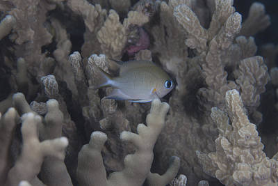 Food And Flowers Still Life - A Small Ambon Chromis Swimming Amongst by Terry Moore