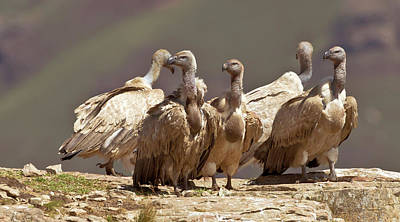 Animal Family Photograph - A Small Flock Of Cape Vultures Standing by Henning De Beer