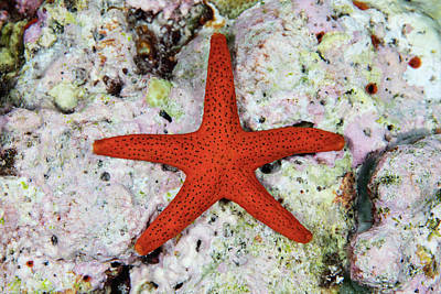 A Small, Red Starfish Clings Art Print