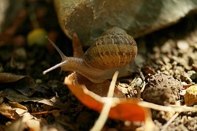 Forest Floor Photograph - A Snail On The Move by Jeff Swan