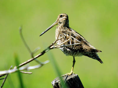 Rare Bird Photograph - A Snipe  by Jeff Swan