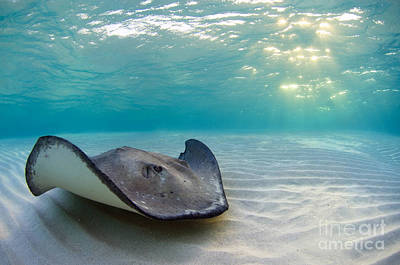 Photograph - A Southern Stingray by Alex Mustard