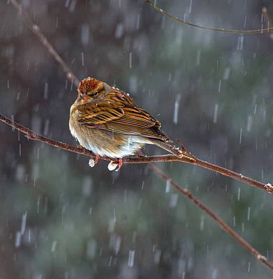 A Sparrow In Snow  Art Print