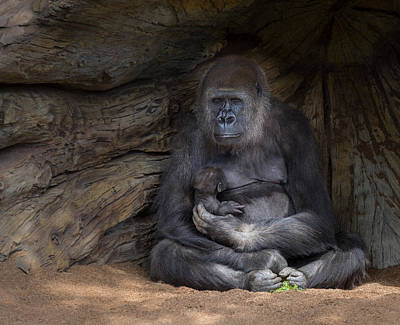 Gorillas Photograph - A Special Moment by Larry Marshall