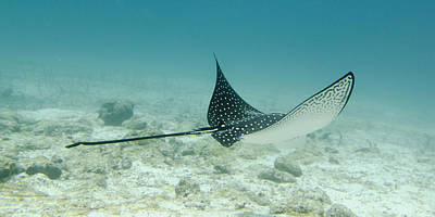 Spotted Eagle Ray Photograph - A Spotted Eagle Ray Aetobatus by Keith Levit